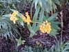 Butterflyweed (honestabby) Tags: butterflyweed