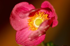 Anemone, that's challenge enough you should try spelling my family name ranunculaceae! (AngharadW) Tags: petal pollen stamen brown pink gardenflower angharadw ranunculucaea anemone goldenhour macro flower