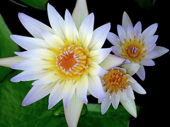 Dynamic Trio (PeterCH51) Tags: usa us florida white waterlily flower botanicalgarden garden fruitandspicepark homestead peterch51 waterlilies