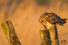 Velduil (Marc Nollet) Tags: velduil shortearedowl klemskerke vogelfotografie vogel canoneos7d nollet 500mm hiboudesmarais