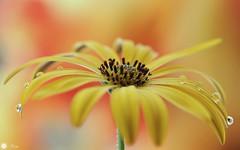 A little sunshine in the rain (Trayc99) Tags: water droplets drops rain yellow flower flora softbackground bright colourful floralart flowerphotography macro beautyinnature beautyinmacro