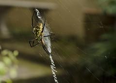 Orb-Weaver {Explored 9/8/2017} (moke076) Tags: nikon d7000 nature arachnid orb weaver yellow web araneidae araneid orbweaver garden golden bug dof explore explored flickr