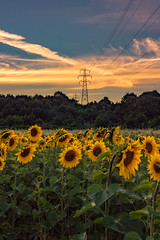 Purple and red and yellow and on fire (neal1973) Tags: sun sunset dusk flowers sunflowers sunflower pylon field farm kent bexley uk england sky cloud clouds summer