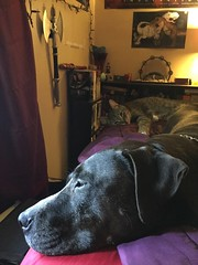 Xander the Pit Bull and Giles the Tabby, rescue brothers (twilightsolo) Tags: pitbullmix toocute shelterpets pets rescuedog pitbull dog kitty rescuecat browntabby tabby cat