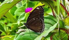 Brown beauty (tanreineer) Tags: brown beauty nikonp900 alive colorful wings