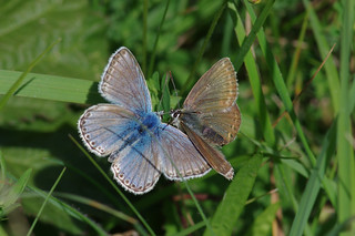 IMGP6322c 'Face to Face' Chalkhill Blues, Devil's Dyke, August 2017
