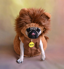 A Taste of Africa (DaPuglet) Tags: pug pugs dog doga pet pets animal animals lion cub africa friends fun costume halloween wildlife safari coth5 sunrays5 fantasticnature
