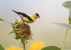 Goldfinch on Sunflower (sbuckinghamnj) Tags: newjersey meadowlands richarddekortepark dekorte bird finch goldfinch