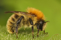 Bombus pascuorum (henk.wallays) Tags: