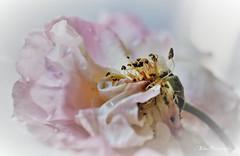 (Fay2603) Tags: flower fiore blume fleur pflanze plant verblüht rose rosée rosa tender zart fein leaves blütenblätter light licht luce pastell fujifilm xt1 staubgefäse stamens natur nature natura white weis bianco blanche background hintergrund green grün verde