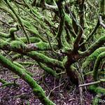 20170606-DSC01505 Rhododendron Undergrowth Dunvegan Castle North Skye Scotland thumbnail