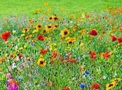 Wildflowers (eric robb niven) Tags: ericrobbniven scotland dundee wildflower poppies flowers scottish