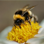 Being a BumbleBee thumbnail
