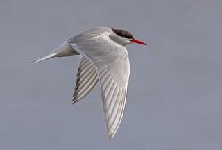 JWL5634  Arctic Tern..