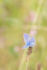 Azuré de la bugrane (Richard Holding) Tags: argus azuré butterfly commonblue eure insect insecte m43 macro nature normandie normandy olympus omd papillon polyommatusicarus