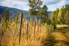 Norwegian hillside (CecilieSonstebyPhotography) Tags: norway autumn birch fall fence grass hillside høst straws trees