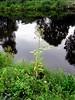 Sumpf-Gänsedistel - Sonchus palustris am Vosskanal, NGID69887008 (naturgucker.de) Tags: ngid69887008 naturguckerde sumpfgänsedistel sonchuspalustris 915119198 92636685 836367324 chorstschlüter