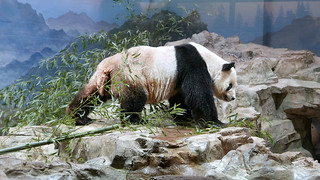 Tian Tian (I'm 20 years young, as spry as any cub–especially in the snow–and twenty times as wise...) 2017-05-10 at 11.05.2 AM