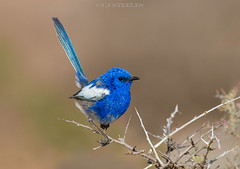 White-winged Fairy-wren (chrissteeles) Tags: whitewingedfairywren fairywren wren bird birding southaustralia sa