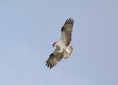 Osprey (White JU) (Cant Beat The Drumm) Tags: osprey kinnordy angus white ju raptor prey biridng wildlife fishing