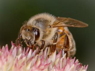 Honey Bee on Sedum.
