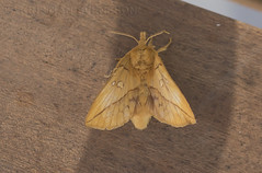 Drinker (Euthrix potatoria) (macronyx) Tags: nature wildlife insects insect insekt insekter moth nattfjäril gräselefant drinker euthrix euthrixpotatoria