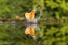 Early catch (Ross Forsyth - tigerfastimagery) Tags: kingfisher kf wild nature free wildlife wildlifephotography fantasticwildlife animalplanet scotland dumfriesandgalloway spash diving minnows scottishphotographyhides alanmcfadyen fudgey reflections reflexions reflection mirror mirrorimage