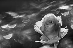 Rose B/W (udo w-a-n-n-i-n-g-e-r) Tags: vintage lens manual focus spring manualfocus flora bokeh bokehlicious blumen pflanzen macro preset mth beyondbokeh vintagelens manuallens manualfocusing manualexposure manualondigital udowanninger blumenwanninger macrotube macros dof smooth blur bokehgraph flowers flower garden nature ngc greatphotographers dreamy beautiful petals detail depthoffield smoothbokeh extremebokeh silkybokeh primelensprime
