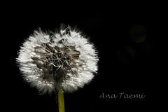 ATU_3851_Dente de Leão_LR (Ana Taemi) Tags: camposdojordão serradamantiqueira dentedeleão ervadaninha plantamedicinal taraxacum