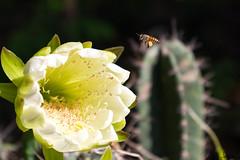 Flower and Bee (simonprakasharokiadoss) Tags: flower cactus pine bee pollinaton eggs flowering flora macro canoneos77d