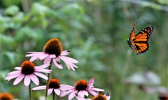 Monarch Butterfly in flight. (Gillian Floyd Photography) Tags: monarch buttefly flying flight