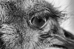 The Eye Of The Beholder (Alfred Grupstra) Tags: animal blackandwhite looking closeup pets animaleye animalhead portrait animalhair oneanimal fur staring nopeople ostrich amsterdam artis