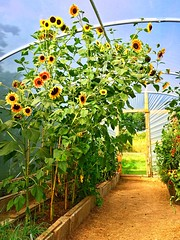 Saturated Sunflowers (JulieK (thanks for 5 million views)) Tags: hss sliderssunday colourful iphonese polytunnel