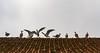 Querelle sur un vieux toit (Quarrel on an old roof) (Larch) Tags: toit roof nernier village hautesavoie france léman lacléman lakegeneva oiseau bird quarrel querelle envol flight