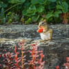 So this is where my strawberry crop has been disappearing to (explored).jpg (Darren Berg) Tags: chipmunk rodent strawberry eating cheeks