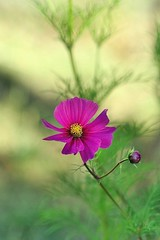 Cosmos fuchsia (mamietherese1) Tags: earthmarvels50earthfaves world100f phvalue mixofflowers