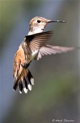 Female Rufous Hummingbird (Mark Schocken) Tags: selasphorusrufus sedonaarizona sedonahummingbirdfestival markschocken