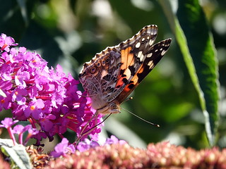 Painted Lady Butterfly, Toronto, Ontario