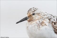 Sanderling Portrait (Daniel Cadieux) Tags: sanderling portrait molt molting beach ottawa ottawariver migration