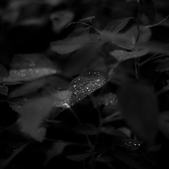 Mist Pooling On Leaves 009 (noahbw) Tags: captaindanielwrightwoods d5000 dof nikon abstract blackwhite blackandwhite blur bokeh bw dark darkness droplets forest leaves light lowlight monochrome natural noahbw square summer water waterdrops wet woods