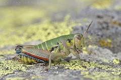 Cophopodisma pyrenaea, femelle (lac de Bassias, vallée de Lesponne) (G. Pottier) Tags: cophopodismapyrenaea cophopodisma miramelledespyrénées acrididae melanoplinae grasshopper criquet endémique etagealpin pyreneanmountaingrasshopper