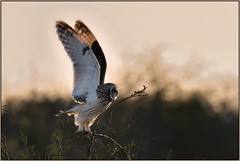Short-eared Owl (image 1 of 2) (Full Moon Images) Tags: shorteared owl short eared seo