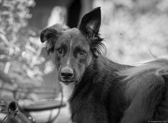 Bruno and the Bee (piano62) Tags: dogs dogrescue mansbestfriend mischief handsome learning smart intelligience home love garden bees blackandwhite monochrome nikond750 nikon70200f28vr