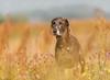 Ein traumhafter Sommermorgen ❤️ (Manuela Koenig) Tags: manuelakoenig sheila 300mm natur hund dog tierfotografie animalphotography sommer f40 jagdhund mischling blueweim summertime canon festbrennweite ef300mmf4lisusm 5diii