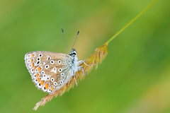 Common Blue Butterfly 4 (Donjovi2012) Tags: ayrshire commonbluebutterfly gailesmarsh irvine macro nature scotland shallowdof softfocus