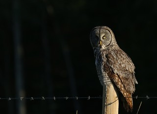 Great Gray Owl sitting on a fence post during an Alberta sunrise...
