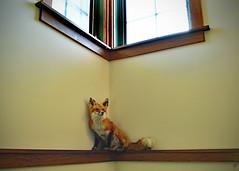 Cornered (jcdriftwood) Tags: cornered corner fox taxidermy preserve preserved mount animal window light eaglecreek earthdiscoverycenter eaglecreekpark eaglecreekreservoir