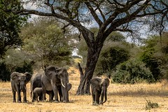 SAVANNAH ELEPHANT FAMILY (dmberman1) Tags: eastafrica wildlife tarangirenationalpark tanzania africasafari savannahelephants