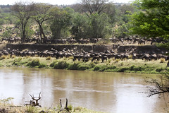 Migracao GNU - Travessia do Rio Mara 05 (Joao Pena Rebelo) Tags: tanzania gnus wildebeest migration safari serengeti wildebeests marariver