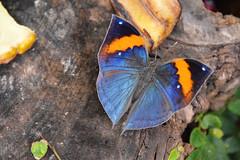 Indian Orange Oakleaf Butterfly (Kallima inachus) (Seventh Heaven Photography) Tags: indian orange oakleaf butterfly kallimainachus kallima inachus dead leaf nikond3200 papillon